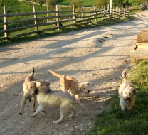 Dogs, Romania, Transylvania, Magura, puppies