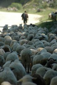 Magura, Zarnesti, Drum Comunal, sheep, traffic jam