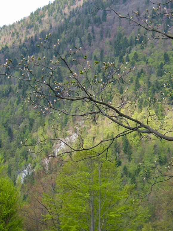 Spring works its way slowly up the mountain, the pink beech buds unfurling into green