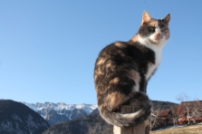 Mountain cat
