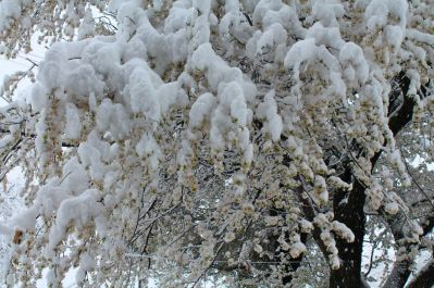 Some years, winter surprises us with a late reprise – freezing blossom and destroying all prospect of fruit