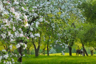 the idyllic Spring orchard, apple blossom and dandelions giving the cow a welcome end to winter confinement