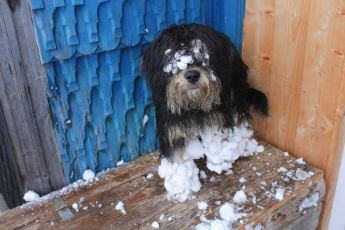 Snow clumping on his long fur