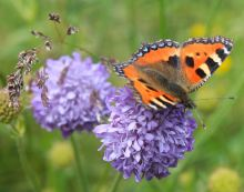 Tortoiseshell butterfly on Devil's Bit Scabious