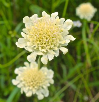 Cream-coloured Scabious