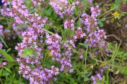 Wild Mountain Thyme - Cimbrisor – which makes delicate tea
