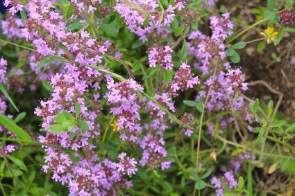 Wild Mountain Thyme - Cimbrisor – which makes delicate tea