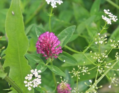 red clover flower in a wildflower lawn