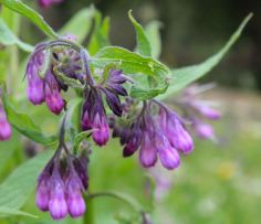 Comfrey, or Knitbone. Good medicine, excellent plant food, insect food, beautiful flowers.