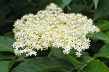 Elderflower – as beautiful a head of tiny flowerets as you could imagine. And they make such delicious cordial, wine and liqueur...