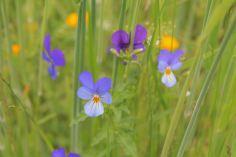 Violas in the meadow grasses