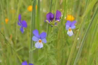 Violas in the meadow grasses