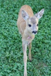 Rescued fawn
