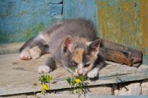 Kitten full of biscuits, feeling chilled as a flower-power hippy