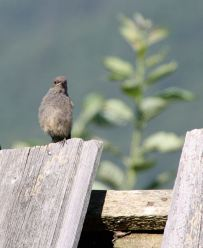 Black Redstart, fledgling in the house, Magura, Transylvania