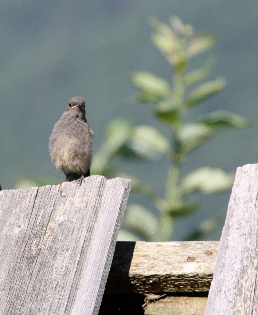Black Redstart, fledgling in the house, Magura, Transylvania