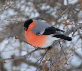 Beautiful bullfinch boy with his pink plumage