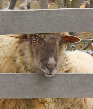 Peers, peering through my fence to eye up the flower beds