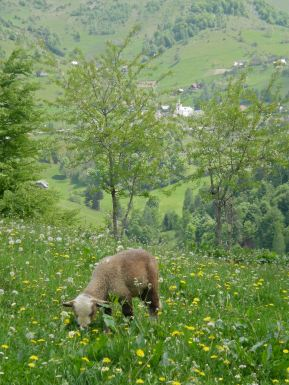 A fattening lamb enjoying juicy meadow grasses