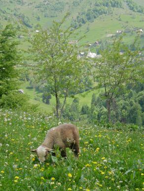A fattening lamb enjoying juicy meadow grasses