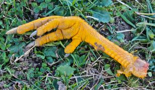 The Hand of Glory (or a chicken's foot)