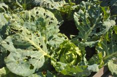 Cabbage, caterpillars, insects, organic vegetables
