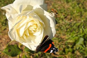 Butterfly, bee, rose, autumn