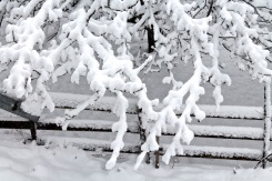 Thick snow on branches of apple tree