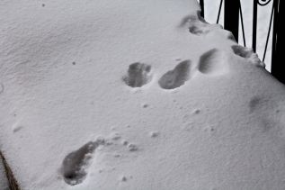 Cat pawprints in the snow outside