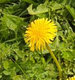 dandelion plant growing wild