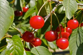 Visini sour cherries
